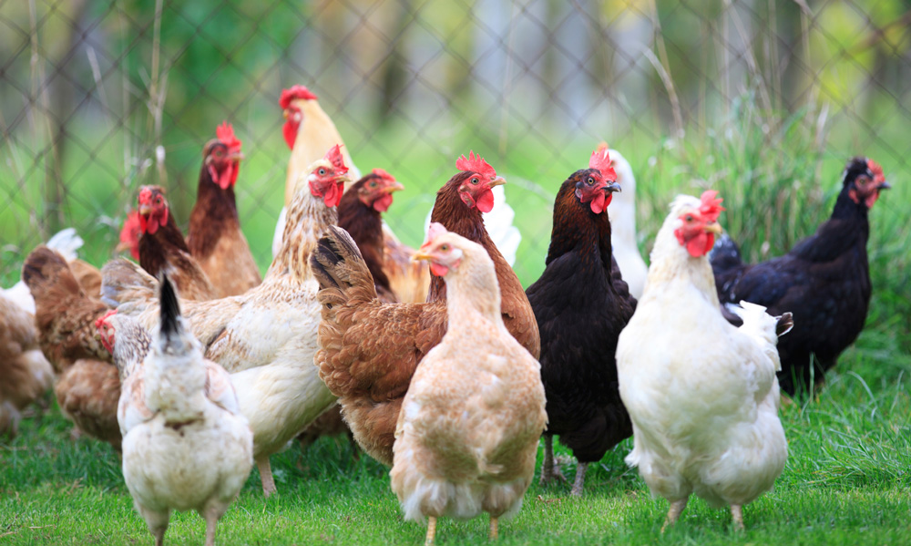 Maintain high income by using chicken egg production