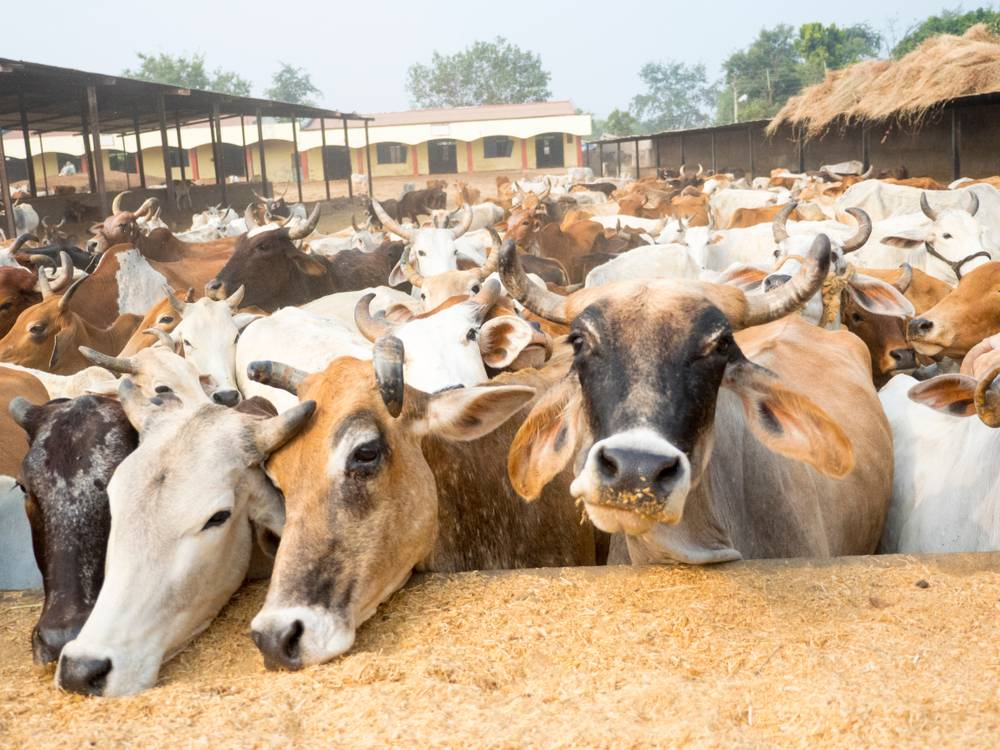 Milch Cow Distribution Scheme